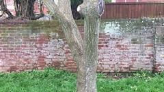 Pride of India (Koelreuteria paniculata) - trunk - April 2018 (terrencepickles) Tags: pride india koelreuteria paniculata trunk april 2018