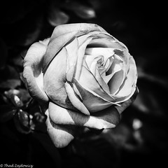 Unfolding in Monochrome (Thad Zajdowicz) Tags: zajdowicz sanmarino california macro closeup object availablelight lightroom canon eos 5dmarkiii 5d3 dslr digital outdoor outside usa thehuntingtongardens ef70200mmf4lisusm nature flower rose garden petals blossom bloom square 1x1 blackandwhite black white bw monochrome vignette highcontrast