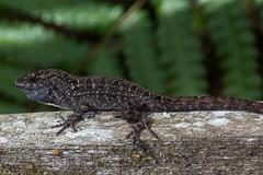Brown Anole [Anolis sagrei] (Fred Roe) Tags: nikond7100 nikkorafs80400mmf4556ged nikonafsteleconvertertc14eii nature wildlife reptile lizard anole anolissagrei brownanole