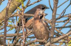 Európai szajkó (Garrulus glandarius) (Torok_Bea) Tags: garrulusglandarius szajkó mátyásmadár matyimadár birds nikon nikond5500 sigma sigma105mm wildanimal home