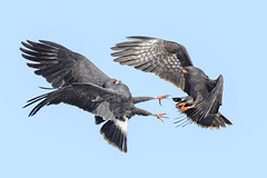 Aerial Aggression (PeterBrannon) Tags: bird florida kite nature raptor rostrhamussociabilis snailkite talons wildlife birdinflight