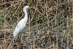 Little Egret (mayekarulhas) Tags: smyrna delaware unitedstates us bombay hook littleegret bird avian canon canon7dll