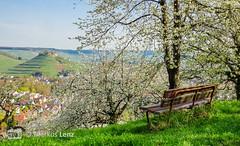 Kirschbaumblütenwiese (Markus Lenz) Tags: badenwürttemberg blüten bäume deutschland diewelt europa fotografie genre kirschbaumblüte kirschblüte kirsche naturlandschaft obstbäume orte pflanze pflanzen pflanzenfotografie streuobstwiese weibertreu weinsberg wiese cherry blossom