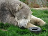 Nobby 💤 (LadyRaptor) Tags: yorkshirewildlifepark yorkshire wildlife park doncaster ywp nature outdoors spring time springtime warm sunny grass water pond pool lake log branches tyre toy toys enrichment sitting laying asleep sleep sleeping sleepy tired nap napping snuggled snooze snoozing siesta rest resting chilling relaxing relaxed happy content smile smiling cute animal animals predator carnivore caniformia ursidae polarbear polarbears male polar bear bears ursusmaritimus projectpolar nobby