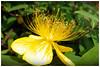 Hpericum chinense    金絲桃 (Alice 2018) Tags: summer flower yellow huawei leica mhal29 mobile huaweimate9 hongkong 2018 green asia city nature