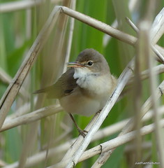 Reed Warbler...now you see him,then you don't! (robbie20161) Tags: animals birds nature warblers reedwarbler acrocephalusscirpaceus countryside wetland reeds uk