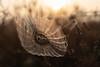 Webdesigner (michel1276) Tags: spinnennetz spinne spider spiderweb bokeh bokehlicious bokehful bokehlove makro macro manualfocus sonya7iii fe35mmf14 sunrise sonnenaufgang