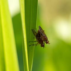 Fliegen bei der Paarung (Carsten Weigel) Tags: carstenweigel flies fly fliege panasonicg9 insekt insect nature wildlife natur leica100400mmf463