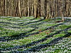 Leuchtende Buschwindröschen im Wald (garzer06) Tags: blumen grün deutschland landschaft mecklenburgvorpommern naturephoto landschaftsfoto naturephotography landschaftsbild buschwindröschen vilmnitz inselrügen lauterbach insel naturfoto rügen naturfotografie weis landscapephotography landschaftsfotografie