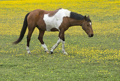brown Pinto horse in buttercup flower field (watts_photos) Tags: brown pinto horse buttercup flower field horses white chestnut butter cups fields nature grass yellow color