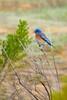 Western Bluebird (pat1479) Tags: california location sanluisobispocounty santamargaritalake unitedstates westernbluebird