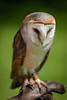 Barn owl (http://www.paradoxdesign.nl) Tags: roofvogel bird prey barn owl kerkuil predator animals beautyful white dieren vogel vogels birds birdofprey