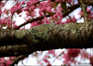 Flowering Cherry Tree...