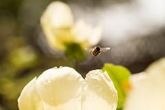 Bzzzzz.... (Gisou68Fr) Tags: abeille bee pivoine paeonia fleur flower bokeh canoneos650d