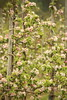 Apple Orchard | Kent (Henry Hemming) Tags: apple blossom green pink white kent orchard beauty spring unfurling fruit trees line row bokeh