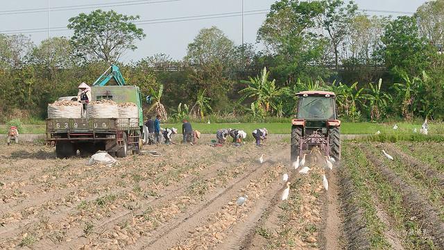 原來地瓜是這樣採收,還有人專門撿剩下的蕃薯(9)