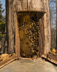 Honeybees_Walnut Tree (Thomas Muir) Tags: woodcounty apismellifera honey comb ohio perrysburg nikon d850 midwest outdoor feral bee colony propolis beeswax apiary yard forest wild agriculture crops pollinator