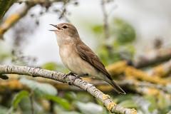 garden warbler (ianbollen) Tags: longeaton england unitedkingdom gb attenborough nottinghamshire warbler garden