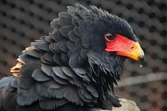 DSC_7246 ag (Tartarin2009 (+3,700,000 views)) Tags: eagle aiglebateleur birdofprey bird oiseau flying voler travel voyage wildlife nature afriquedusud southafrica kruegerpark nikon d7000 bright red bill coth5