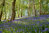 Bluebells (Frightened Tree) Tags: bluebells mai may wild flowers farm wrexham nature nikon d750 tamron 2470mm hdr bracket marcher photography club exposure bracketing wales welsh cymru cymraeg