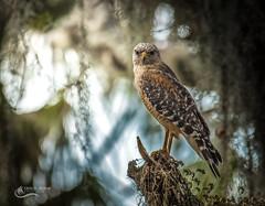 Red Shouldered Hawk (Chris St. Michael) Tags: bird birdofprey redshoulderedhawk hawk nature naturephotography wildlife wildlifephotography outdoors woods
