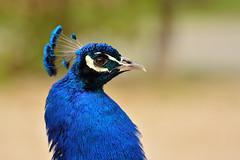 Proud peacock (Alexander Adema) Tags: proud peacock naturzoo rheine duitsland germany zoo dierentuin pauw dier vogel bird nikon d7100