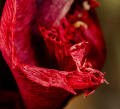 red flower (Mark Rigler -) Tags: red flower plant decay dead macro tulip