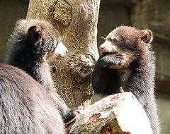 spectacled bear duisburg BB2A3456 (j.a.kok) Tags: beer bear brilbeer spectacledbear babybear bearbaby bearcub cub spectacledbearcub duisburg zoogdier dier animal mammal predator