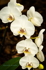 White Orchid (ausmc_1) Tags: 2018 butterflies plant orchid vancouverisland stillife d800 vegetation canada coombs britishcolumbia tamronsp90mmf28dimacrovcusd may