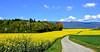 Ondulations (Diegojack) Tags: paysages d7200 mai printemps colza jaune champs groupenuagesetciel