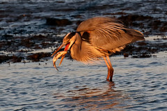 Great Blue Heron flips fish...6O3A9276A (dklaughman) Tags: greatblueheron heron bombayhooknwr delaware fish
