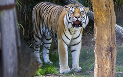 National Zoo 3 May 2018  (583) Tiger (smata2) Tags: tiger tigre flickrbigcats bigcats smithsoniannationalzoo zoo zoosofnorthamerica itsazoooutthere animals zoocritters