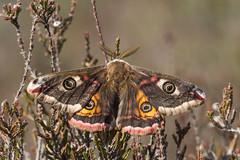 Emperor moth (gillian.pullinger) Tags: moth lepidoptera insect emperormoth saturniapavonia heath heathland wildlife crooksburycommon surrey uk