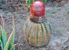 DSC_0660 (RachidH) Tags: flowers blooms blossoms cactus cactii thorns thornyplants succulents meloncactus melocactus turkscapcactus têteàlanglais siègedebellemère carribean westindies antilles meadsbay anguilla rachidh nature