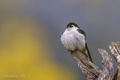 Violet-green Swallow (Bob Gunderson) Tags: birds california northerncalifornia ranchosanantonio santaclaracounty southbay swallows tachycinetathalassina violetgreenswallow