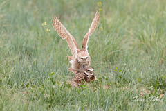 Burrowing Owl mating sequence - 7 of 22