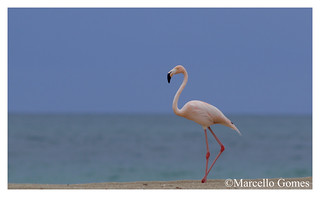 American Flamingo (Phoenicopterus ruber) AMFL - Right on North Miami Beach...how about that?