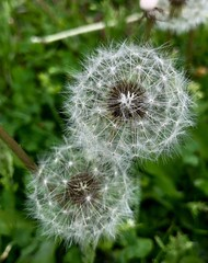 Detailed Dandelion Flowers (HSBasra) Tags: beyondbokeh closeup depthoffield camera iphone iphonex makro connection air wind blow fragile seeds nature pattern detailed detail beautiful grass dandelion summer spring outdoor green white weed flower