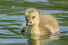 My first Gosling of the season at Dinton D85_2946.jpg (Mobile Lynn) Tags: gosling birds nature geese anseriformes bird fauna goose wildlife estuaries freshwater lagoons lakes marshes ponds waterfowl webbedfeet hurst england unitedkingdom gb