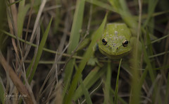 Dia 237 (gedaesal) Tags: villacecilia altosdeyerbabuena closeup sigma105mmf28macro frog macrodreams ngc