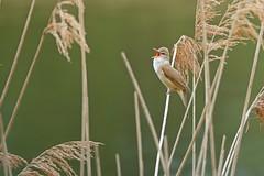 Sumpfrohrsänger (waltsphoto) Tags: singvogel schilf frühjahr drausen deutschland naturgucker natur fauna und flora