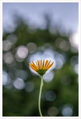 MMM8 (Outlaw Pete 65) Tags: macro closeup fiore flower colori colours natura nature fujixe3 micronikkor55mm collebeato lombardia italia