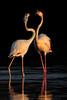 flamingos (leonardo manetti) Tags: uccello bird nature red winter colours naturephotography field natural nikkor countryside green morning black stonechat albero animale fenicottero flamingo sunset lake water nikon d850