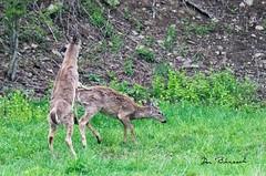 deer in Druck meadow (dfbphotos) Tags: 2018 tioga sabinsville tiogacounty places druckfarm wattlesrun dbcamp wildlife deer seasons spring otherkeywords may nikon pa usa
