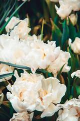IMG_6546 (tata's_view) Tags: green nature garden plant tulip tulips flower white outdorse spring macro