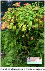 en el Jardín Botánico Atlántico de Gijón (M. Martin Vicente) Tags: agostodel17 floresyplantas fotosgratis fotoslibres gijón jardínbotánicoatlánticodegijón jbag paisajes nandinadomestica bambúsagrado pjv cromosdeplantas