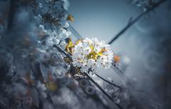 ✽ at X (Dhina A) Tags: sony a7rii ilce7rm2 a7r2 a7r minolta rf rokkorx 250mm f56 mirror reflex minolta250mmf56 md prime rokkor bokeh flower bloom