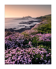 Godrevy Blooms (Dave Fieldhouse Photography) Tags: thrift seathrift cornwall wildflower flower plant flora floral godrevy godrevylighthouse lighthouse cliffs clifftop northcornishcoast cornish cornwalllife coast coastal seascape seaside sunset evening spring may hightide water sea ocean fuji fujifilm fujixt2 wwwdavefieldhousephotographycom mirrorless cloudless hazy portrait contrast colour colourful pretty landscape outdoors longexposure 3leggedthing gwithian beach island rocks atlanticocean atlanticcoast southwest england uk