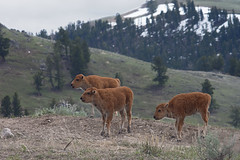 Bison youth gang (Joe Wicks) Tags: bison buffalo yellowstone wyoming montana baby calves animals wildlife nature 2018 mountains park water sky spring