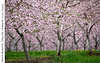 Peach Blossoms, Claus Rd, Vineland (jwvraets) Tags: vineland niagara niagarapeninsula orchard clausroad peach peachtrees blossoms dandelions pink yellow green spring telephoto depthoffield opensource rawtherapee gimp nikon d7100 afpdxnikkor70300mmf4563nonvr